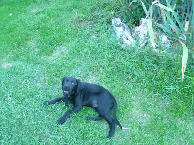 Maya, chiot Labrador Retriever