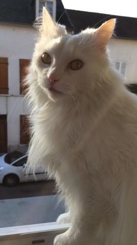Maya, chat Angora turc