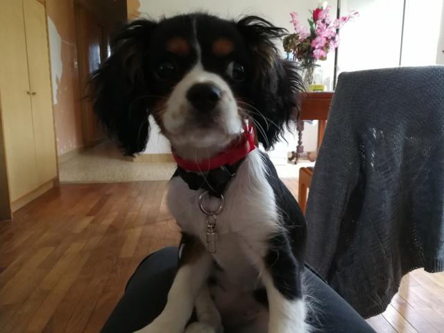 Maya, chien Cavalier King Charles Spaniel
