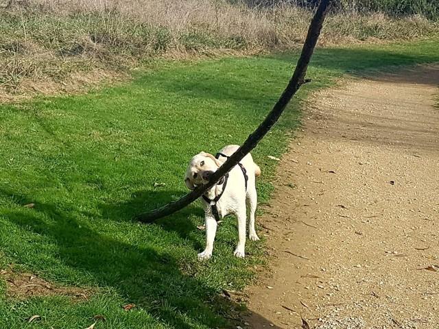 Mel, chien Labrador Retriever