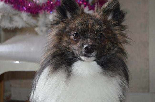 Melkior, chien Spitz allemand