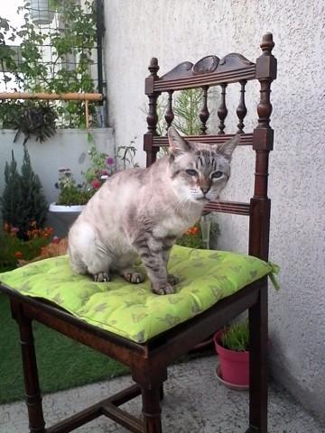 Mélusine, chat Siamois