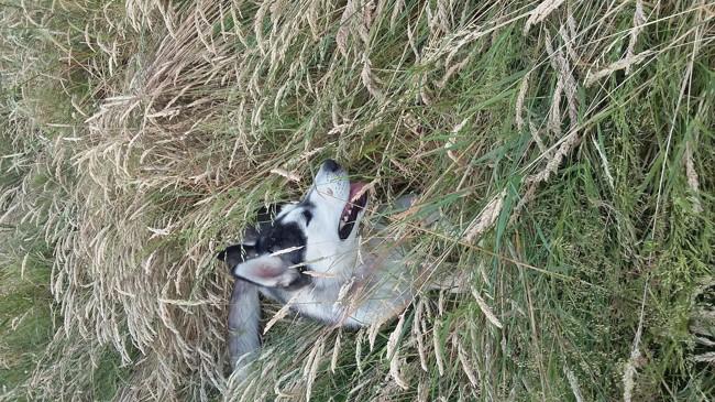 Mia, chien Husky sibérien