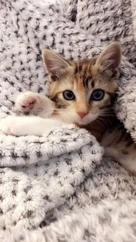 Mia, chaton Européen