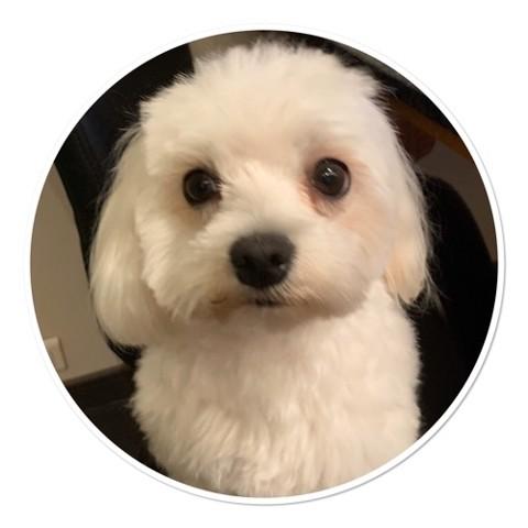 Mia, chien Bichon maltais