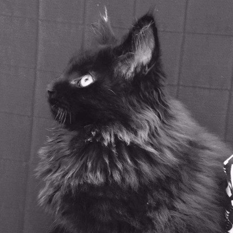 Midnight, chaton Maine Coon