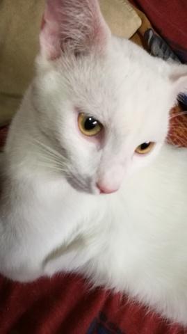 Mikado, chat Siamois