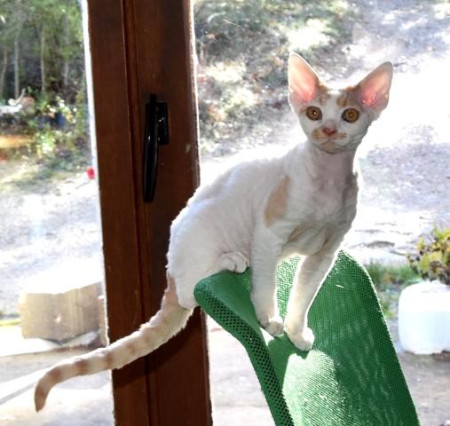 Mikado Du Caramy, chaton Devon Rex