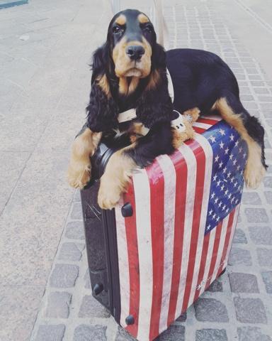 Miky, chien Cocker anglais