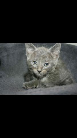 Mila, chaton Chartreux