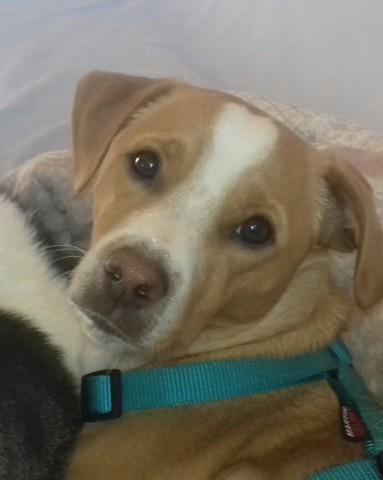 Milan, chien Jack Russell Terrier