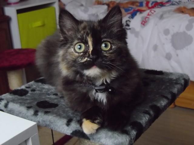 Milka, chaton Européen