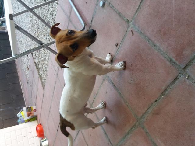 Milka, chien Jack Russell Terrier