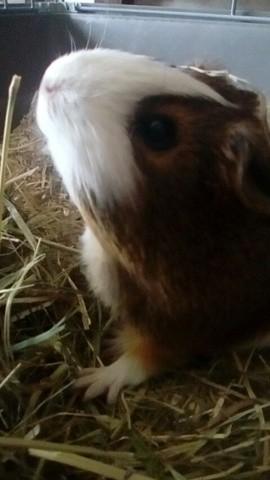 Milka, rongeur Cochon d'Inde