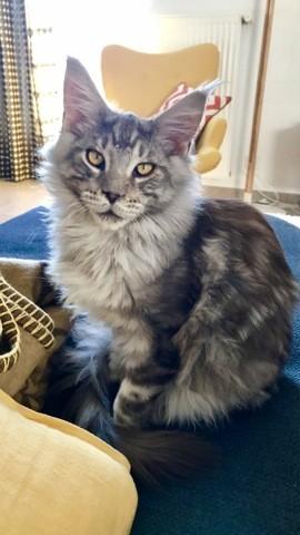 Milo, chaton Maine Coon