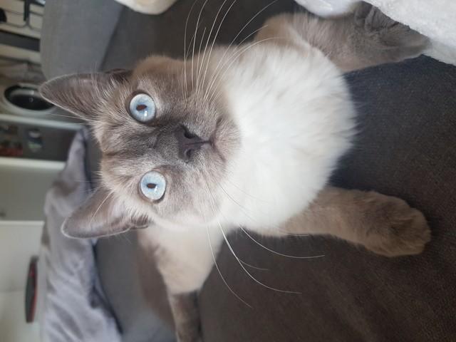 Milo, chaton Ragdoll