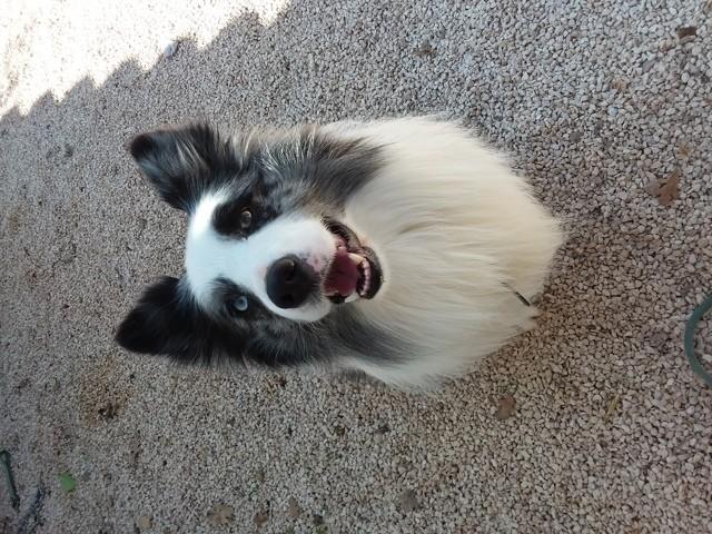 Milou, chien Border Collie