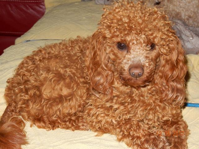 Mimi, chien Caniche