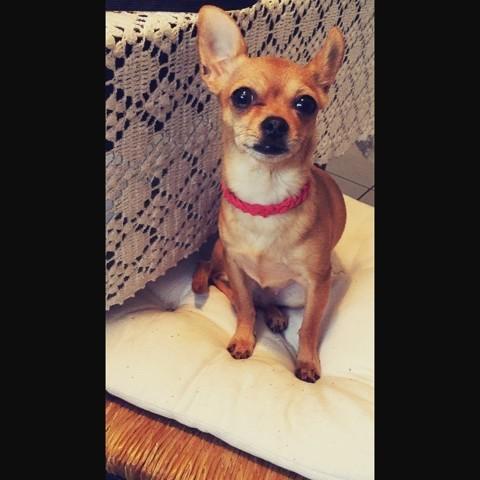 Mimikish, chien Chihuahua