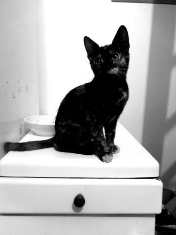 Mimine, chaton Européen