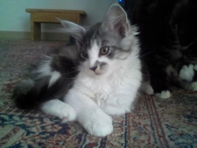 Mina, chaton Maine Coon