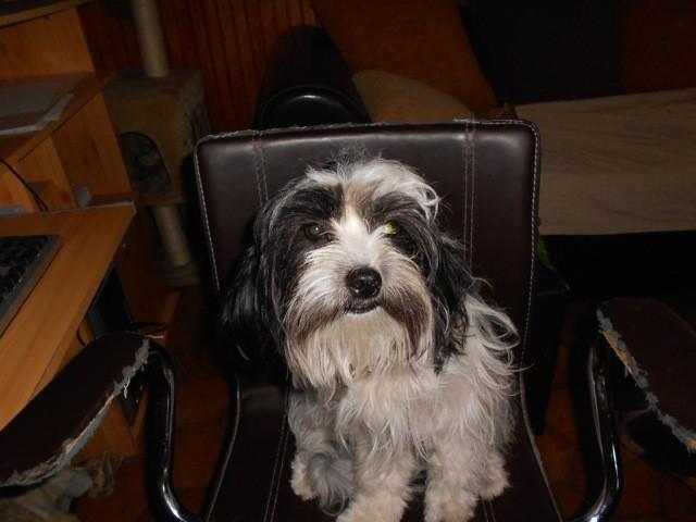 Mina, chien Bichon havanais
