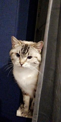 Mina, British Shorthair
