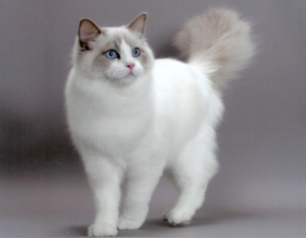 Minette, chat Ragdoll