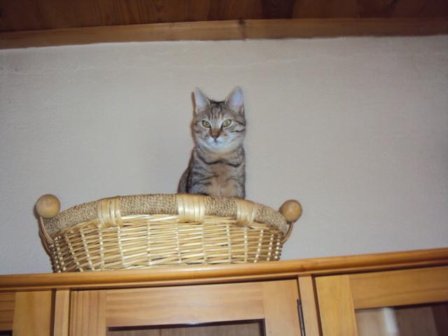 Minimoi, chat Européen