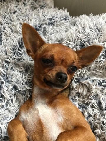 Minnie, chien Chihuahua