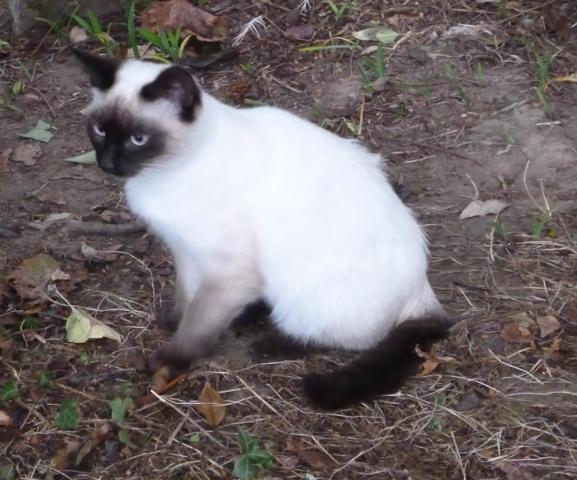Mao, chaton Siamois
