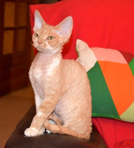 Mirific Du Caramy, chaton Devon Rex