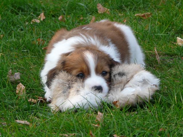 Photo de Mirtille, chien Petit chien hollandais de chasse
