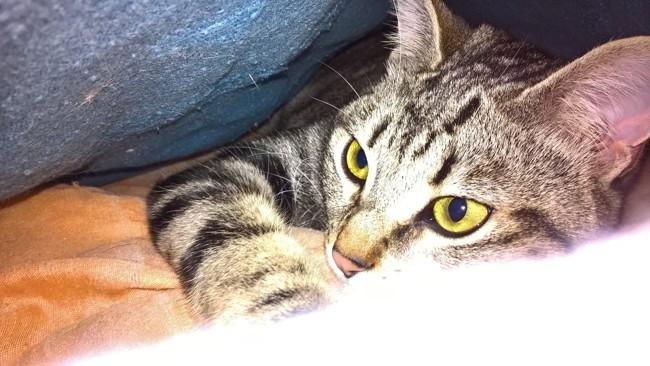 Miss Kayla, chaton Européen