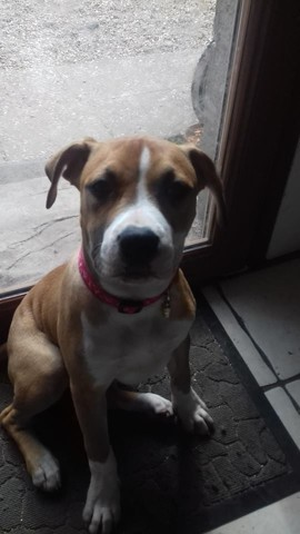 Miss Lola, chien American Staffordshire Terrier