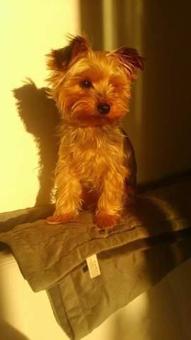 Missy, chien Yorkshire Terrier