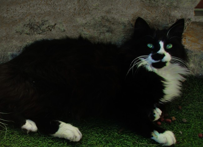 Mistigrie, chat Angora turc