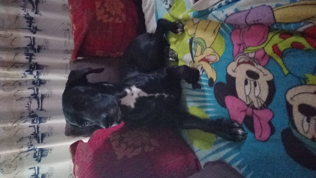 Mistral, chien Dalmatien