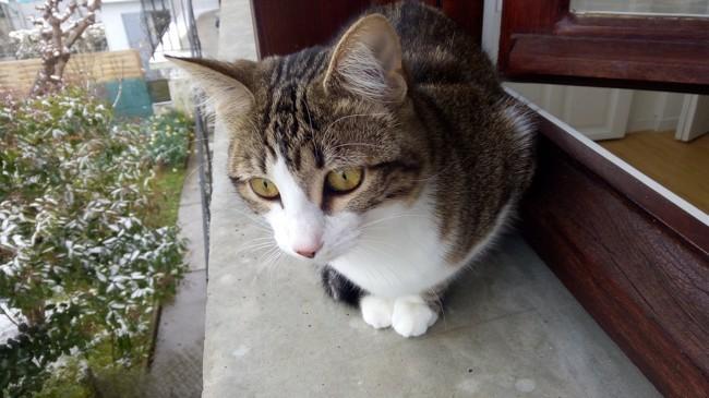Miyu, chaton Européen