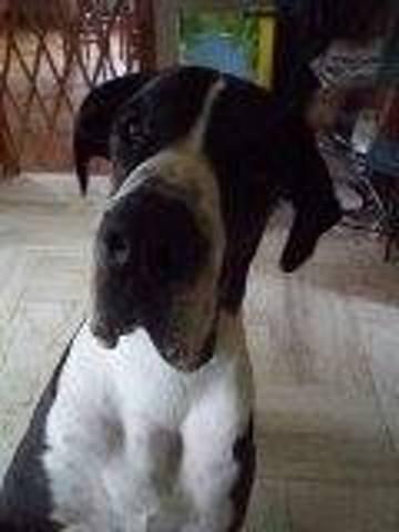 Mojito, chien Dogue allemand