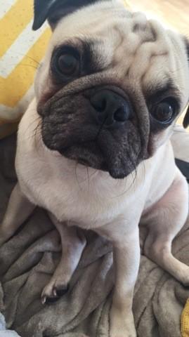 Moka, chien Carlin