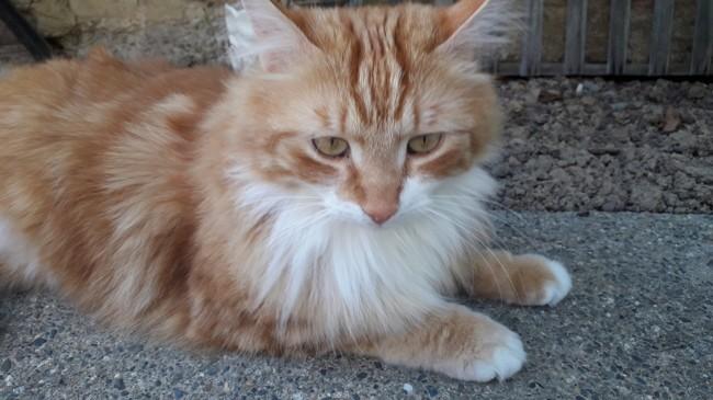 Moka, chat Européen