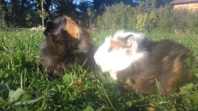 Moka Et Nikita, rongeur Cochon d'Inde