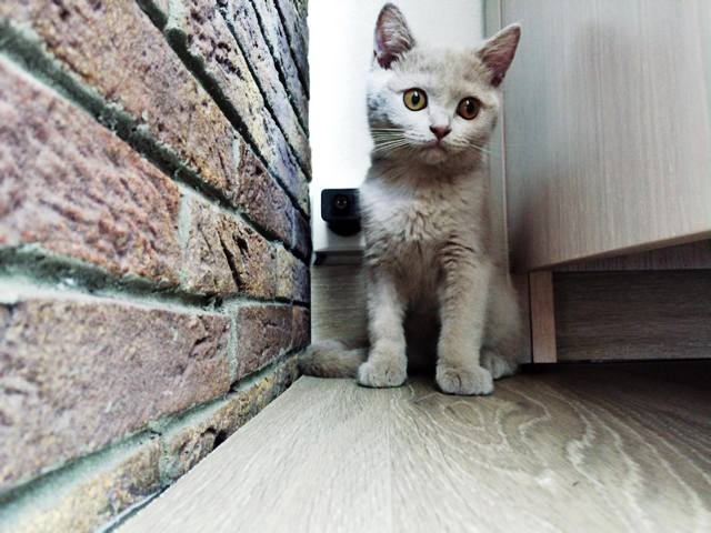 Molière, chaton British Shorthair