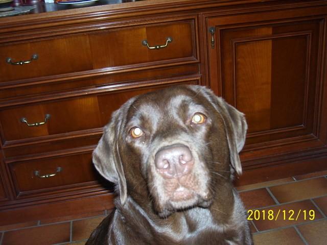 Molly, chien Petit Münsterländer
