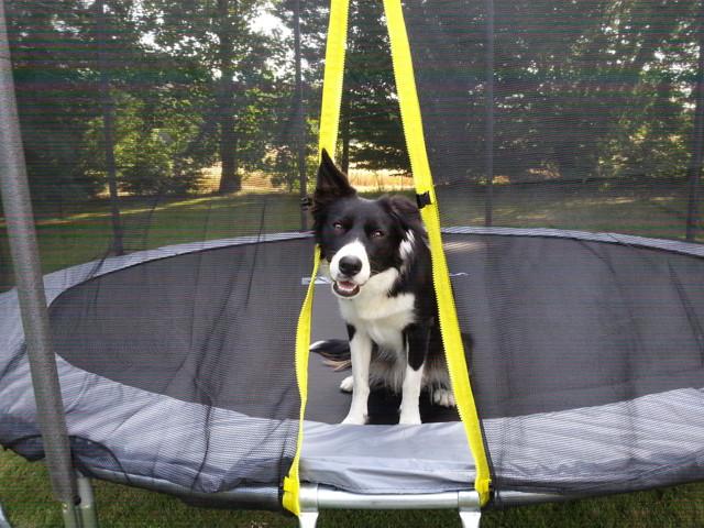 Molly, chien Border Collie