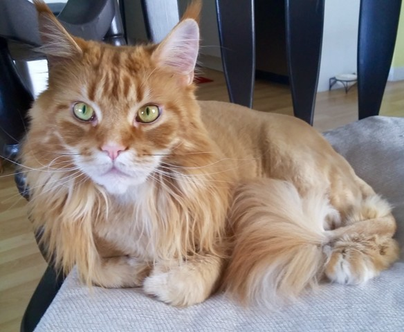 Momo, chat Maine Coon
