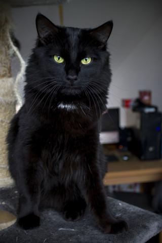 Monsieur Tweeny, chat Européen
