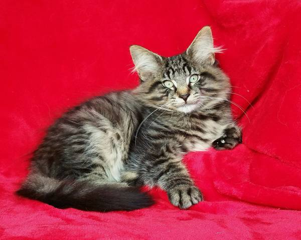 Montasir Winner De Maison Blanche, chat Norvégien