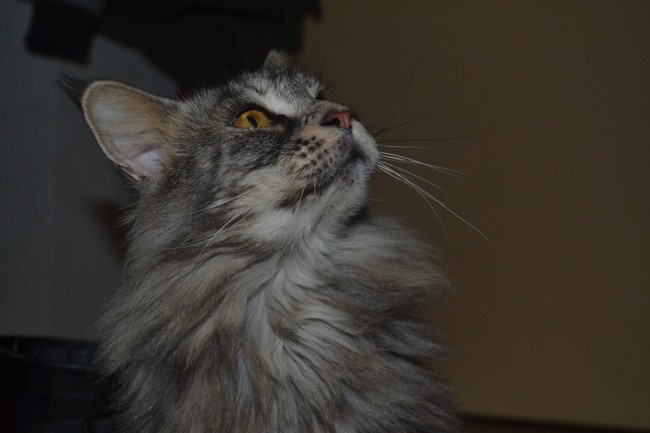 Moumoune, chat Maine Coon